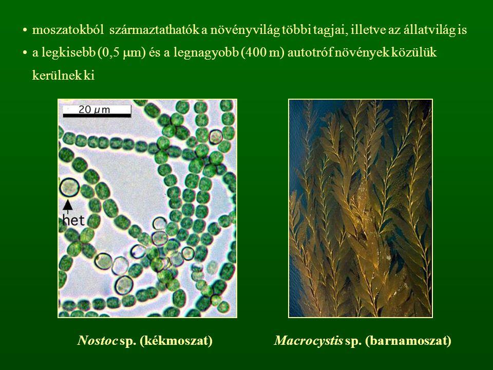 moszatokból származtathatók a növényvilág többi tagjai, illetve az állatvilág is a legkisebb (0,5  m) és a legnagyobb (400 m) autotróf növények közül