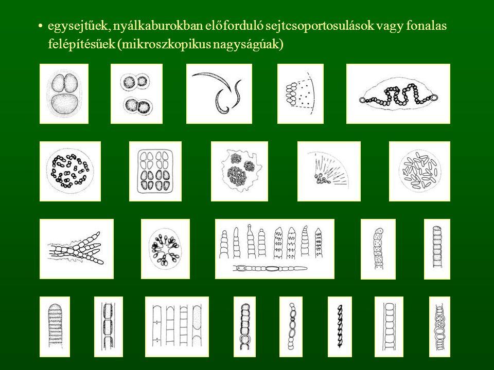 1. o: Sárgászöld moszatok - Xantophyceae