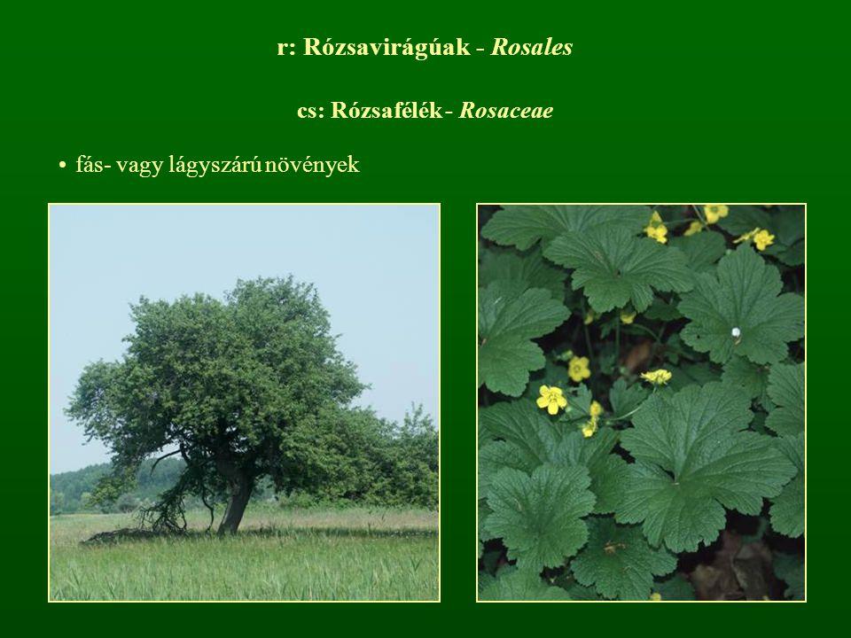 r: Rózsavirágúak - Rosales cs: Rózsafélék - Rosaceae fás- vagy lágyszárú növények