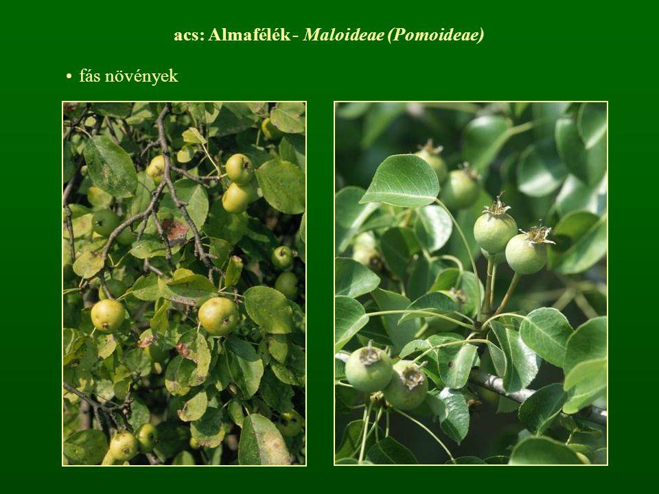 acs: Almafélék - Maloideae (Pomoideae) fás növények