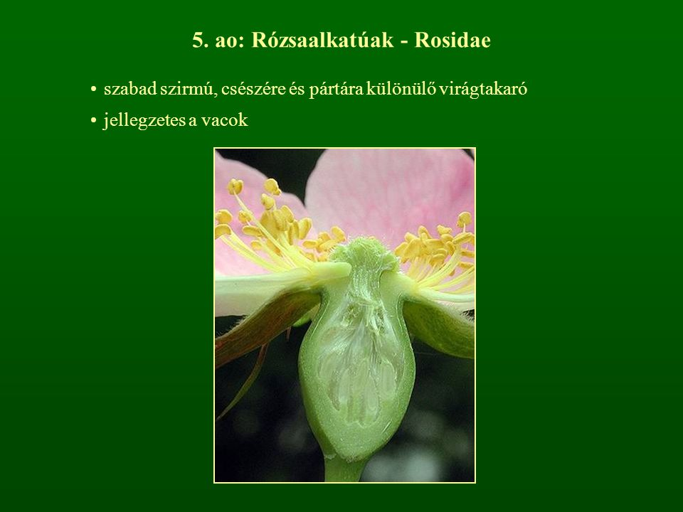 5. ao: Rózsaalkatúak - Rosidae szabad szirmú, csészére és pártára különülő virágtakaró jellegzetes a vacok