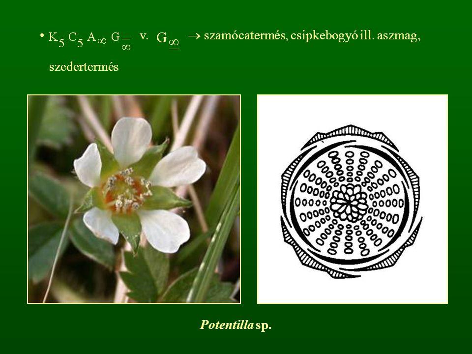 v.  szamócatermés, csipkebogyó ill. aszmag, szedertermés Potentilla sp.