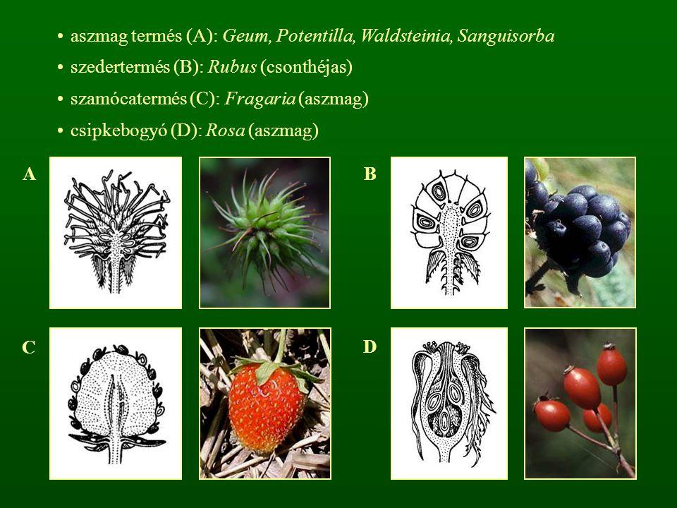 aszmag termés (A): Geum, Potentilla, Waldsteinia, Sanguisorba szedertermés (B): Rubus (csonthéjas) szamócatermés (C): Fragaria (aszmag) csipkebogyó (D