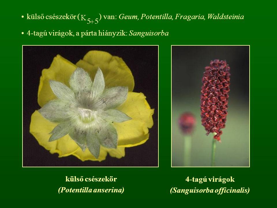 külső csészekör ( ) van: Geum, Potentilla, Fragaria, Waldsteinia 4-tagú virágok, a párta hiányzik: Sanguisorba külső csészekör (Potentilla anserina) 4