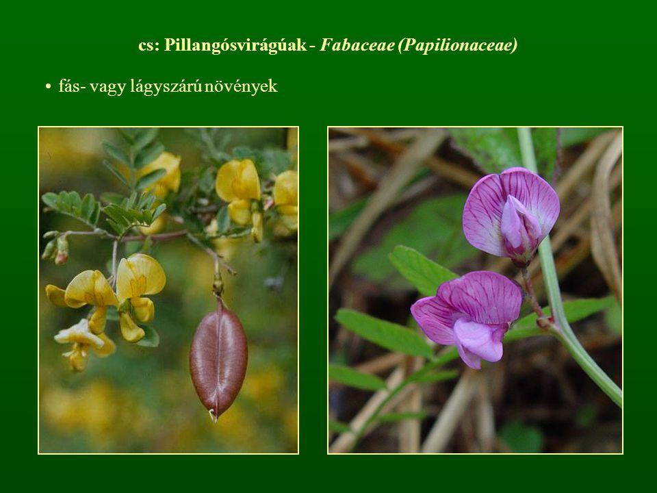 cs: Pillangósvirágúak - Fabaceae (Papilionaceae) fás- vagy lágyszárú növények
