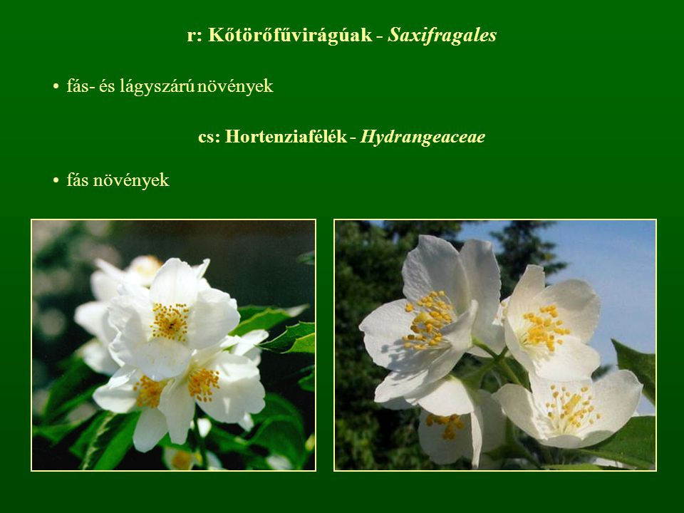 cs: Kőtörőfűfélék - Saxifragaceae lágyszárú növények, gyakran pozsgás szárral, párnás vagy tőlevélrózsás felépítéssel a levélállás szórt, pálhák nincsenek