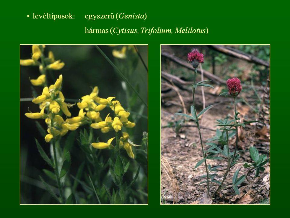 levéltípusok: egyszerű (Genista) hármas (Cytisus, Trifolium, Melilotus)