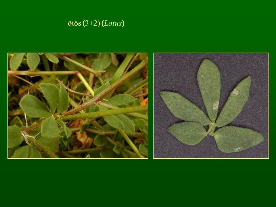 ötös (3+2) (Lotus)