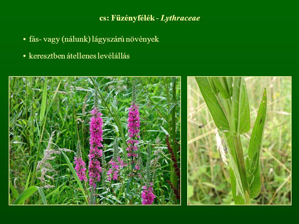 cs: Füzényfélék - Lythraceae fás- vagy (nálunk) lágyszárú növények keresztben átellenes levélállás