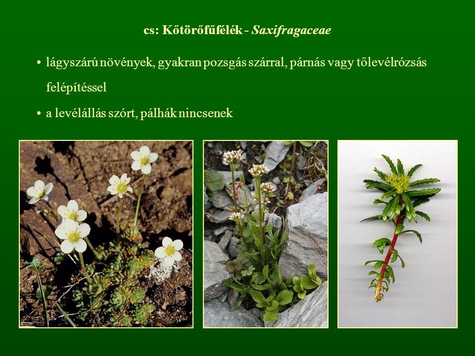 cs: Kőtörőfűfélék - Saxifragaceae lágyszárú növények, gyakran pozsgás szárral, párnás vagy tőlevélrózsás felépítéssel a levélállás szórt, pálhák nincs