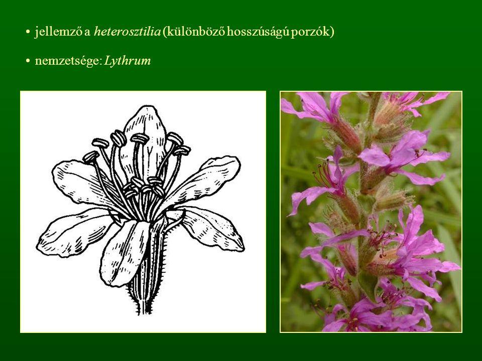 jellemző a heterosztilia (különböző hosszúságú porzók) nemzetsége: Lythrum