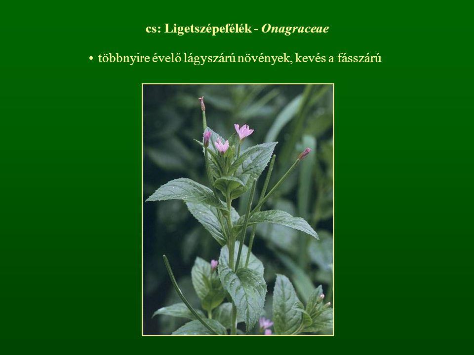 cs: Ligetszépefélék - Onagraceae többnyire évelő lágyszárú növények, kevés a fásszárú
