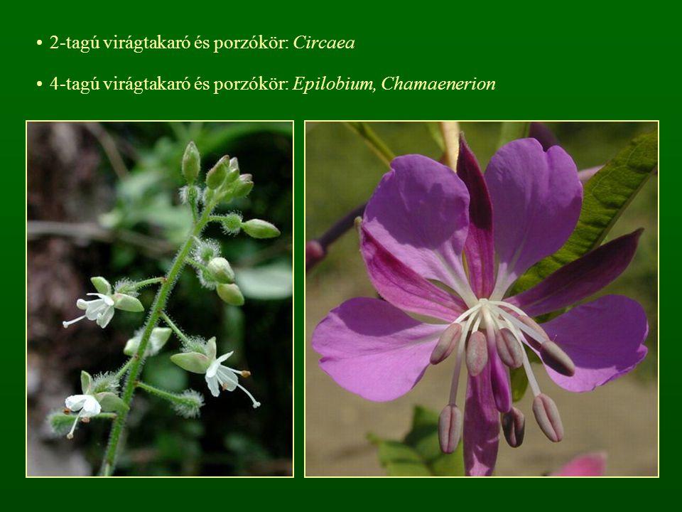 2-tagú virágtakaró és porzókör: Circaea 4-tagú virágtakaró és porzókör: Epilobium, Chamaenerion