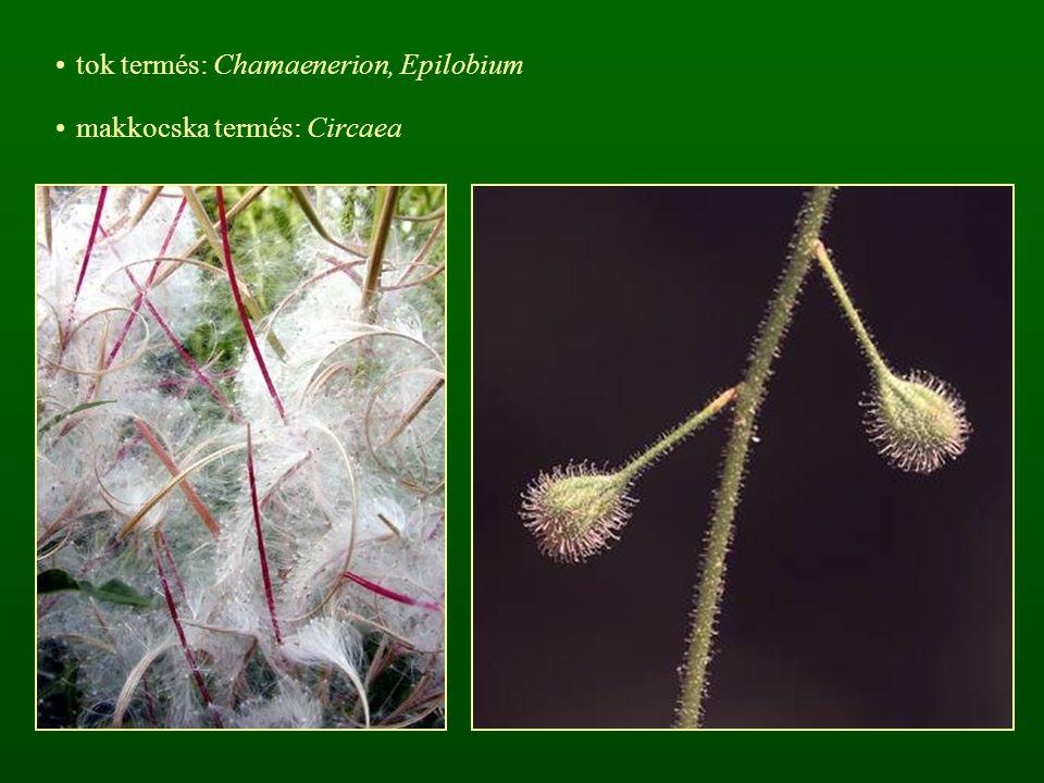 tok termés: Chamaenerion, Epilobium makkocska termés: Circaea