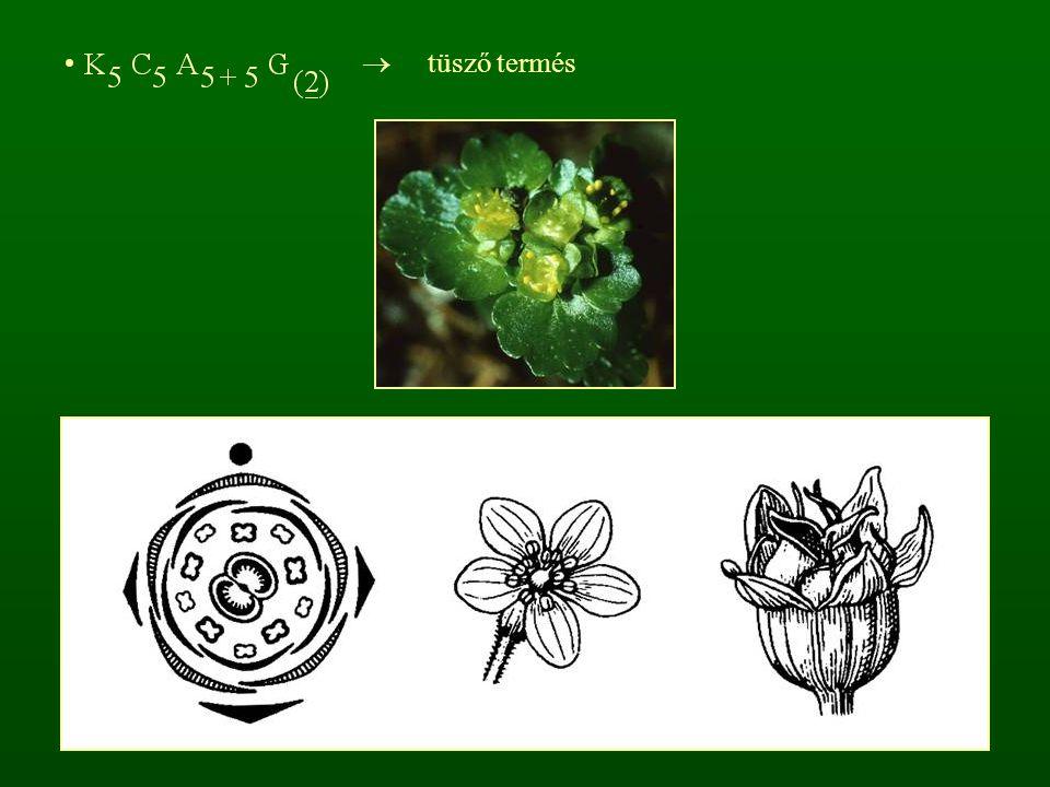 r: Mirtuszvirágúak - Myrtales négykörös, főleg négytagú virág