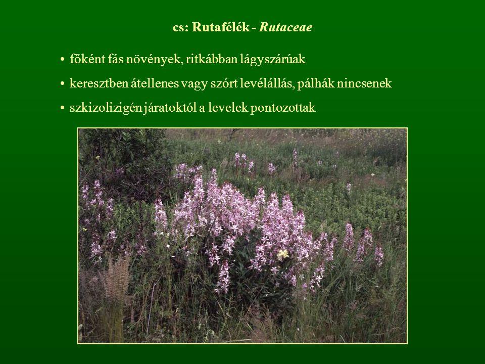 cs: Rutafélék - Rutaceae főként fás növények, ritkábban lágyszárúak keresztben átellenes vagy szórt levélállás, pálhák nincsenek szkizolizigén járatok