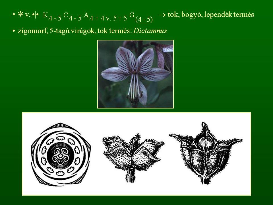 ✼ v.    tok, bogyó, lependék termés zigomorf, 5-tagú virágok, tok termés: Dictamnus