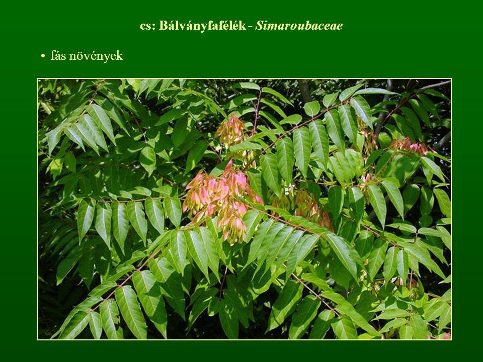cs: Bálványfafélék - Simaroubaceae fás növények