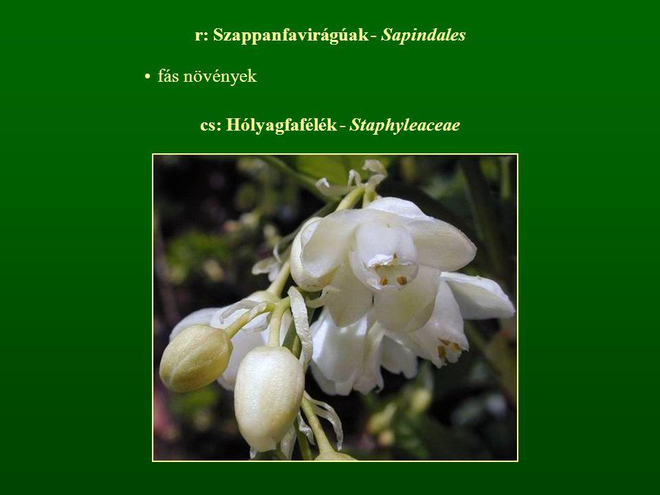 r: Szappanfavirágúak - Sapindales fás növények cs: Hólyagfafélék - Staphyleaceae