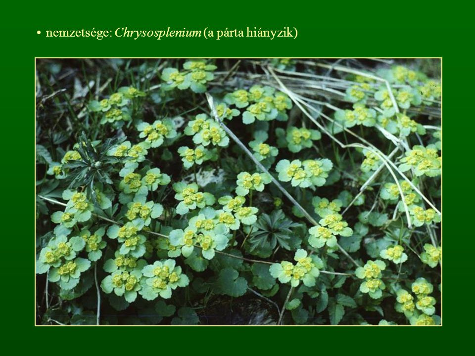 nemzetsége: Chrysosplenium (a párta hiányzik)