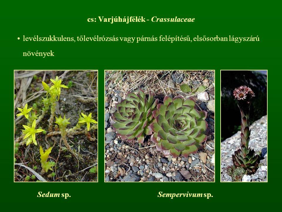 cs: Varjúhájfélék - Crassulaceae levélszukkulens, tőlevélrózsás vagy párnás felépítésű, elsősorban lágyszárú növények Sedum sp.Sempervivum sp.
