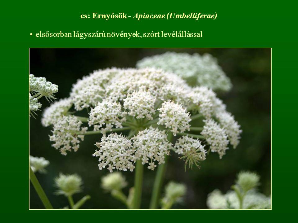 cs: Ernyősök - Apiaceae (Umbelliferae) elsősorban lágyszárú növények, szórt levélállással