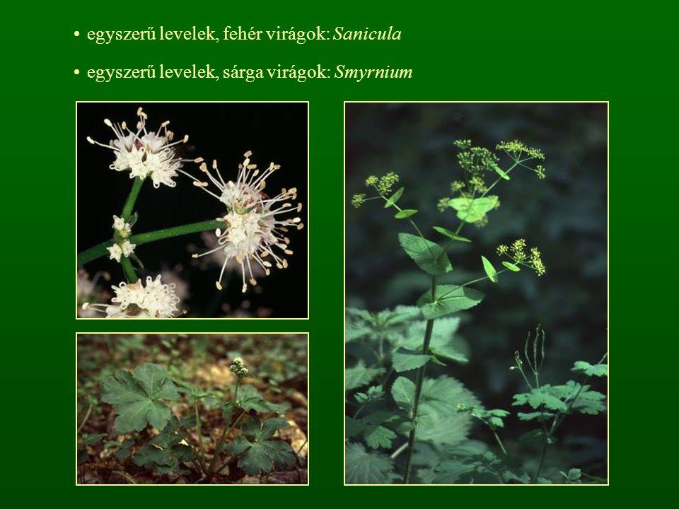 egyszerű levelek, fehér virágok: Sanicula egyszerű levelek, sárga virágok: Smyrnium
