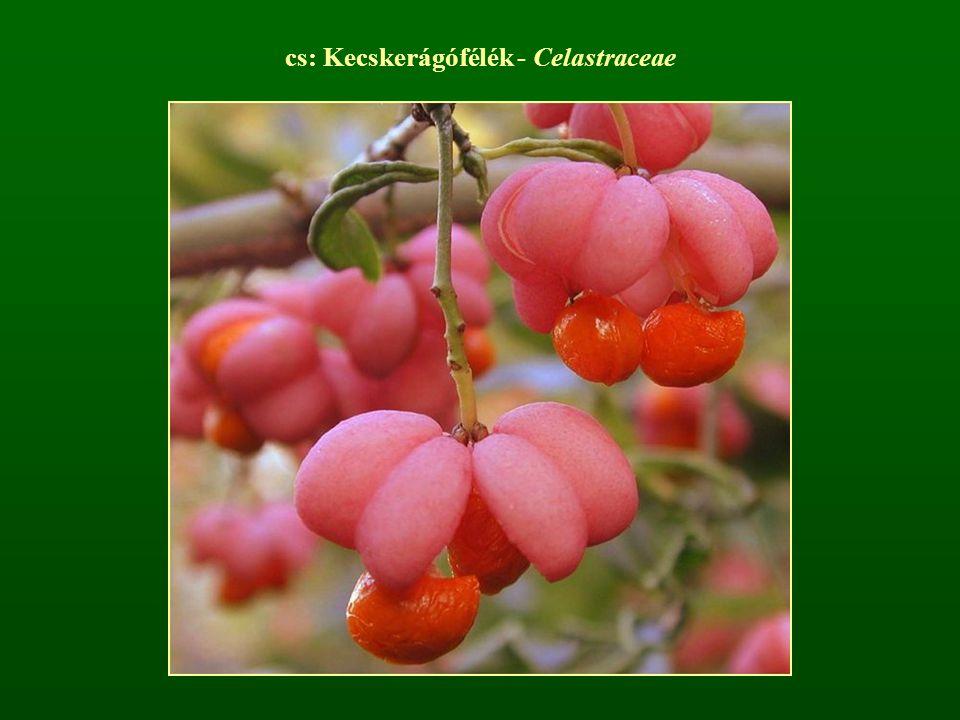 cs: Kecskerágófélék - Celastraceae
