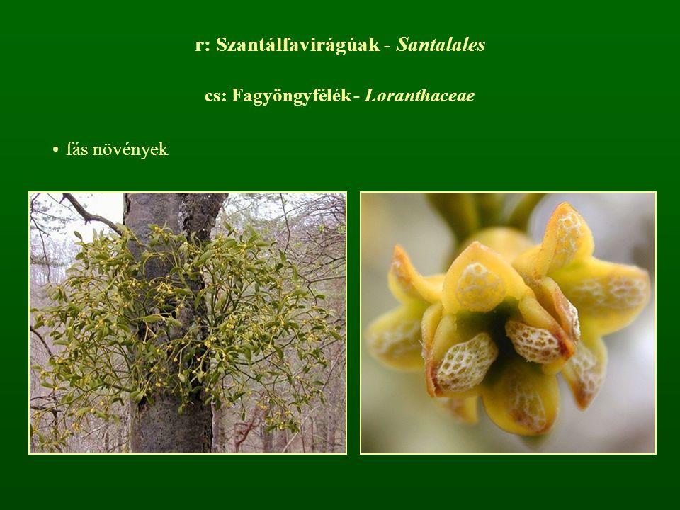 r: Szantálfavirágúak - Santalales cs: Fagyöngyfélék - Loranthaceae fás növények