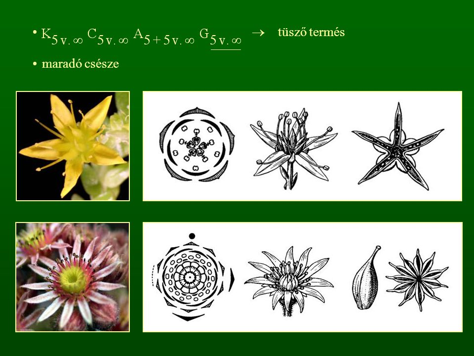 r: Bengevirágúak - Rhamnales fás növények cs: Bengefélék - Rhamnaceae