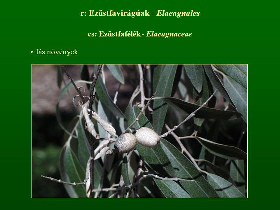 r: Ezüstfavirágúak - Elaeagnales cs: Ezüstfafélék - Elaeagnaceae fás növények
