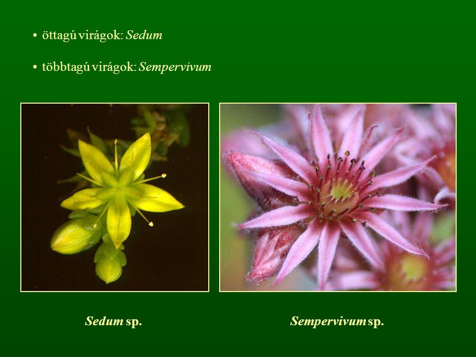 öttagú virágok: Sedum többtagú virágok: Sempervivum Sedum sp.Sempervivum sp.