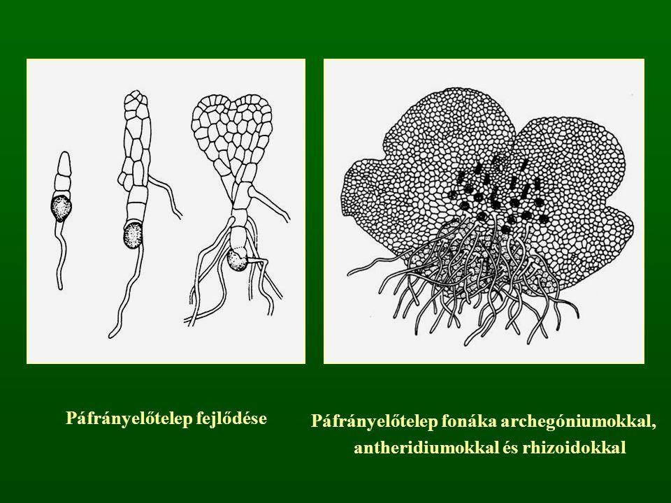 Páfrányelőtelep fejlődése Páfrányelőtelep fonáka archegóniumokkal, antheridiumokkal és rhizoidokkal
