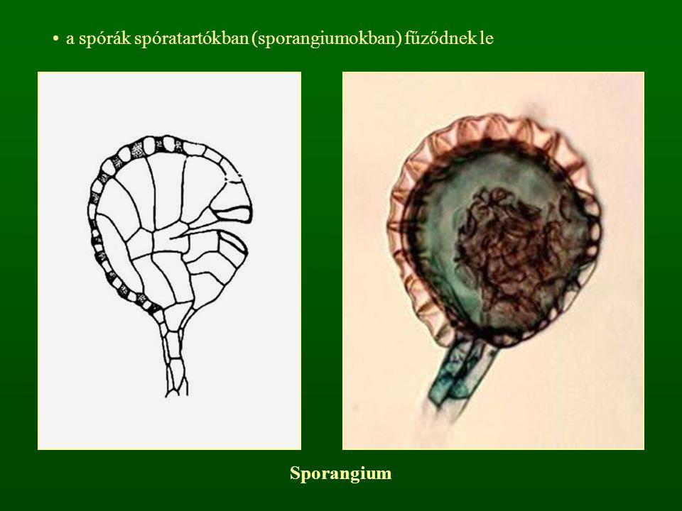 a spórák spóratartókban (sporangiumokban) fűződnek le Sporangium