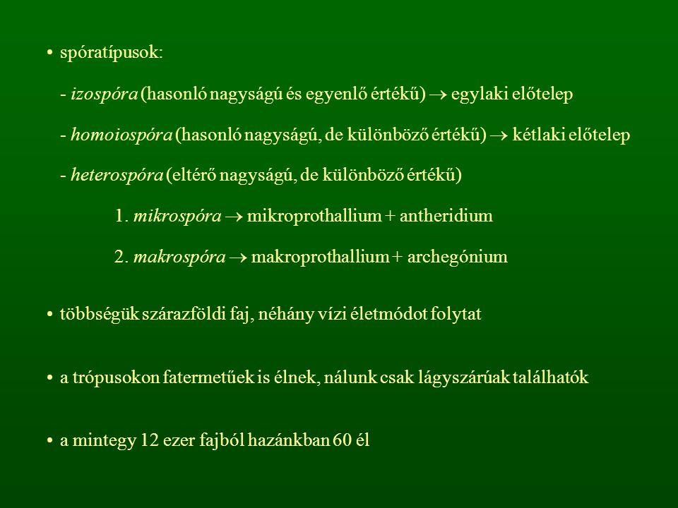 spóratípusok: - izospóra (hasonló nagyságú és egyenlő értékű)  egylaki előtelep - homoiospóra (hasonló nagyságú, de különböző értékű)  kétlaki előtelep - heterospóra (eltérő nagyságú, de különböző értékű) 1.