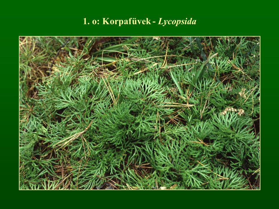 1. o: Korpafüvek - Lycopsida