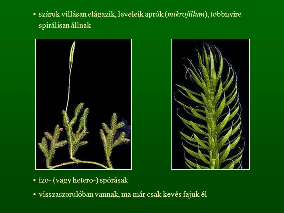 száruk villásan elágazik, leveleik aprók (mikrofillum), többnyire spirálisan állnak izo- (vagy hetero-) spórásak visszaszorulóban vannak, ma már csak kevés fajuk él