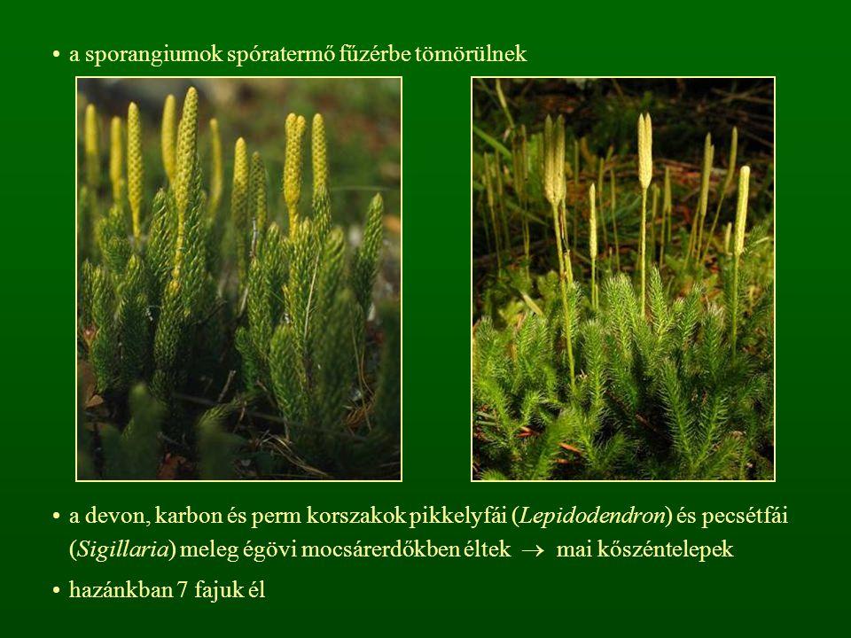 a sporangiumok spóratermő fűzérbe tömörülnek a devon, karbon és perm korszakok pikkelyfái (Lepidodendron) és pecsétfái (Sigillaria) meleg égövi mocsárerdőkben éltek  mai kőszéntelepek hazánkban 7 fajuk él