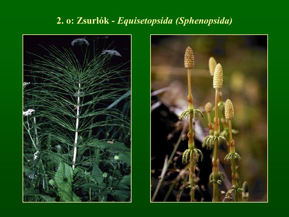 2. o: Zsurlók - Equisetopsida (Sphenopsida)