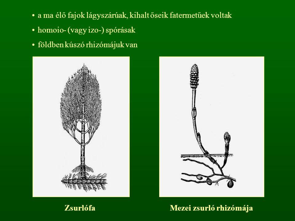 a ma élő fajok lágyszárúak, kihalt őseik fatermetűek voltak homoio- (vagy izo-) spórásak földben kúszó rhizómájuk van ZsurlófaMezei zsurló rhizómája