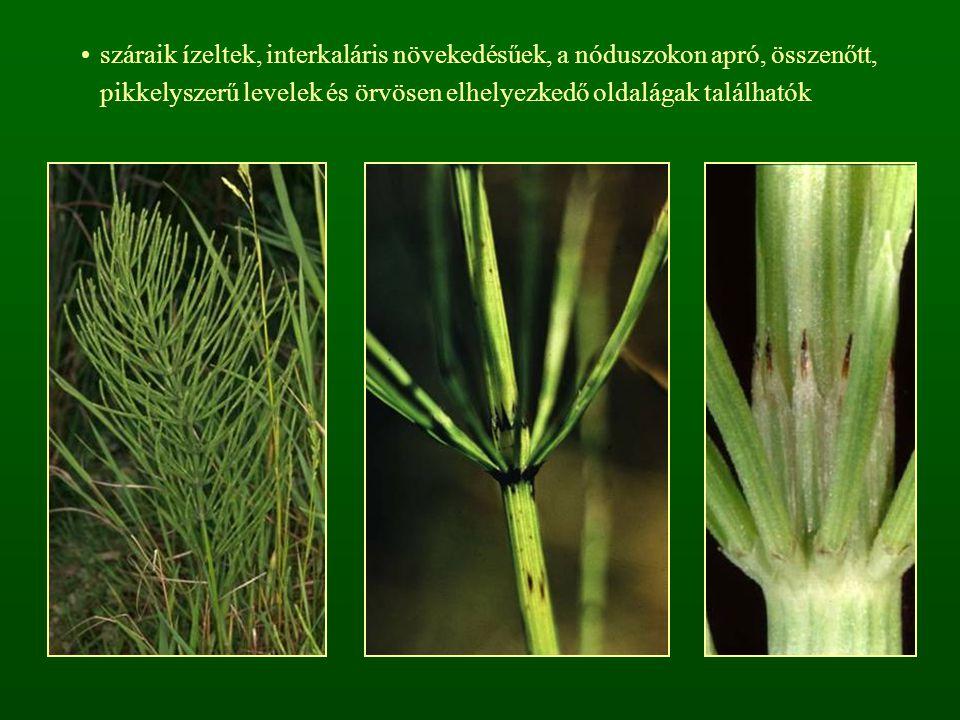 száraik ízeltek, interkaláris növekedésűek, a nóduszokon apró, összenőtt, pikkelyszerű levelek és örvösen elhelyezkedő oldalágak találhatók
