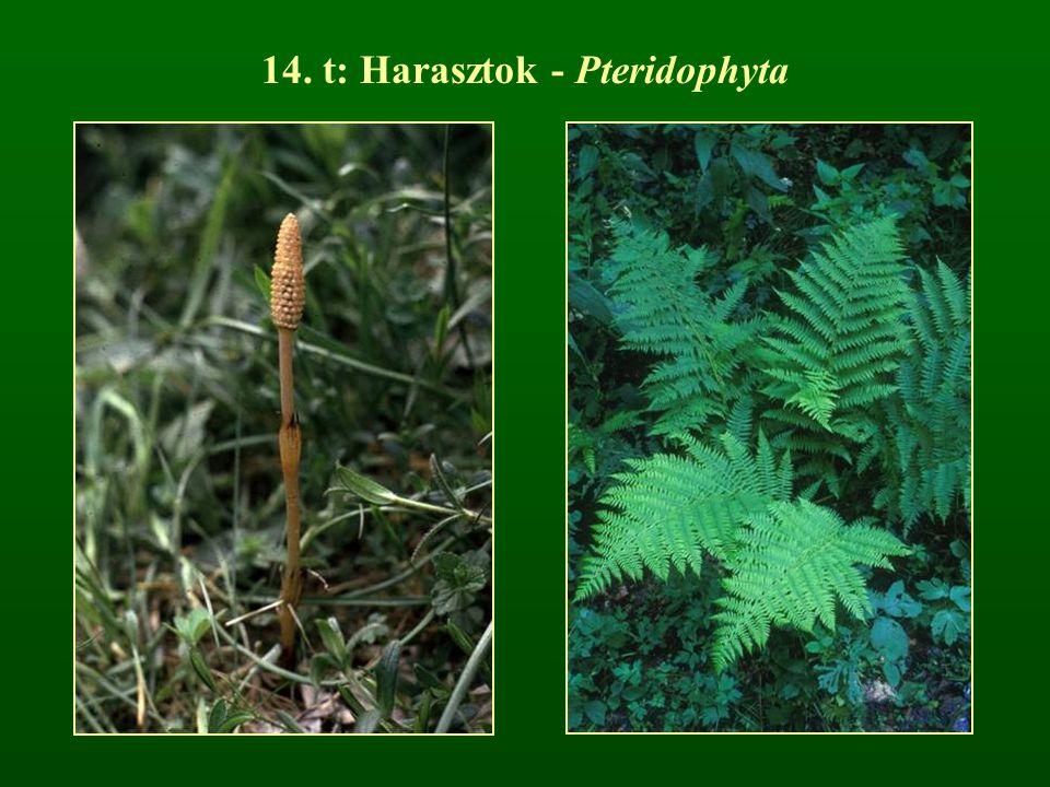 14. t: Harasztok - Pteridophyta