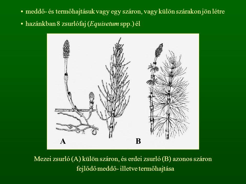 meddő- és termőhajtásuk vagy egy száron, vagy külön szárakon jön létre hazánkban 8 zsurlófaj (Equisetum spp.) él Mezei zsurló (A) külön száron, és erdei zsurló (B) azonos száron fejlődő meddő- illetve termőhajtása AB