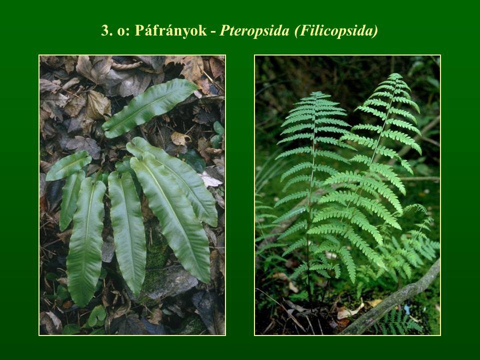 3. o: Páfrányok - Pteropsida (Filicopsida)
