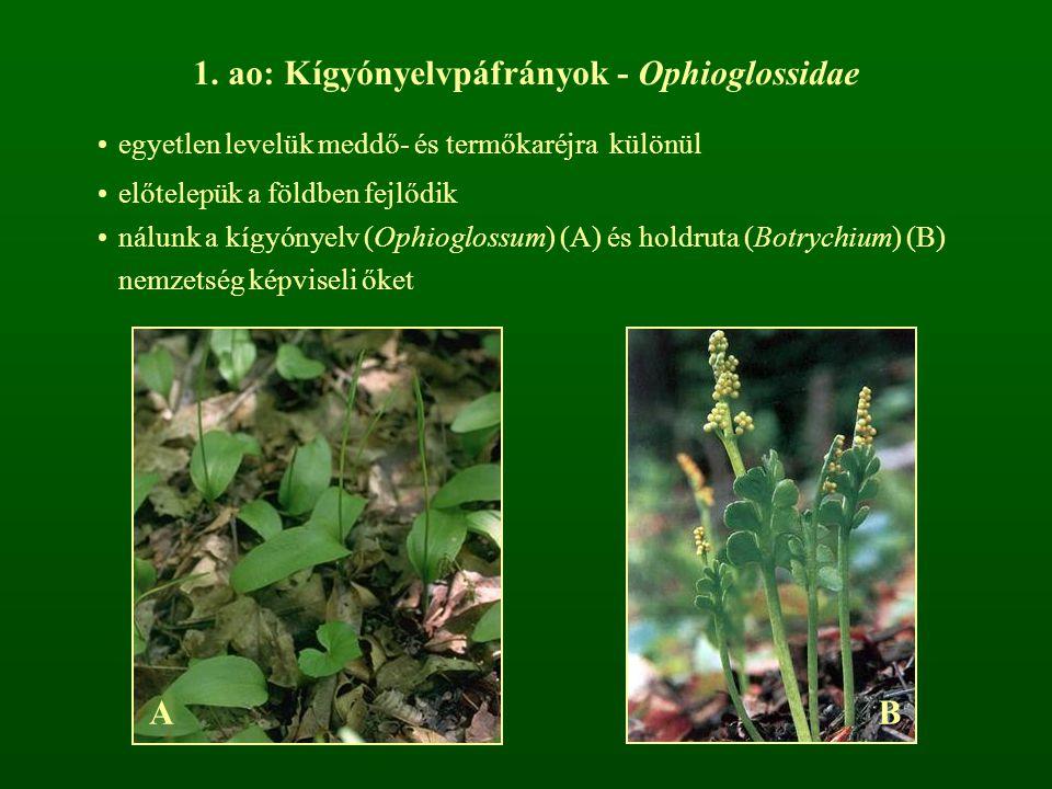 1. ao: Kígyónyelvpáfrányok - Ophioglossidae egyetlen levelük meddő- és termőkaréjra különül előtelepük a földben fejlődik nálunk a kígyónyelv (Ophiogl