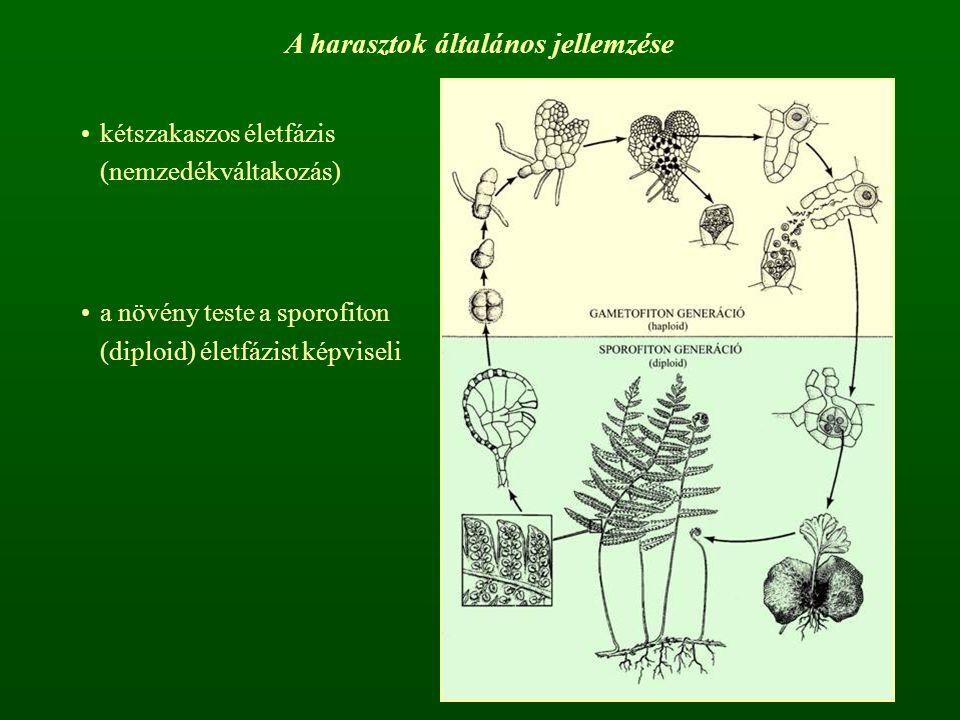 A harasztok általános jellemzése kétszakaszos életfázis (nemzedékváltakozás) a növény teste a sporofiton (diploid) életfázist képviseli