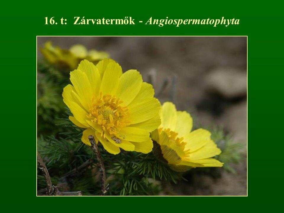 16. t: Zárvatermők - Angiospermatophyta