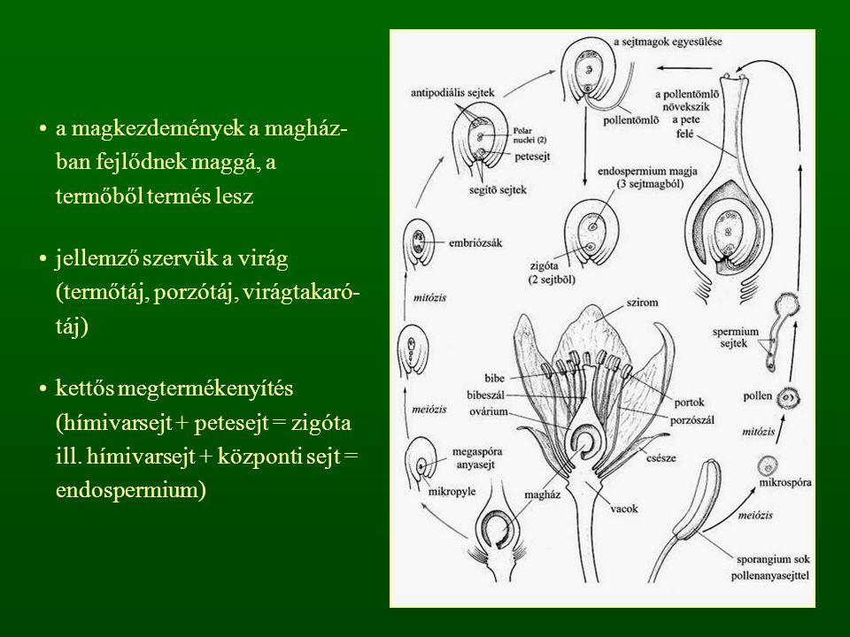 a magkezdemények a magház- ban fejlődnek maggá, a termőből termés lesz jellemző szervük a virág (termőtáj, porzótáj, virágtakaró- táj) kettős megtermékenyítés (hímivarsejt + petesejt = zigóta ill.