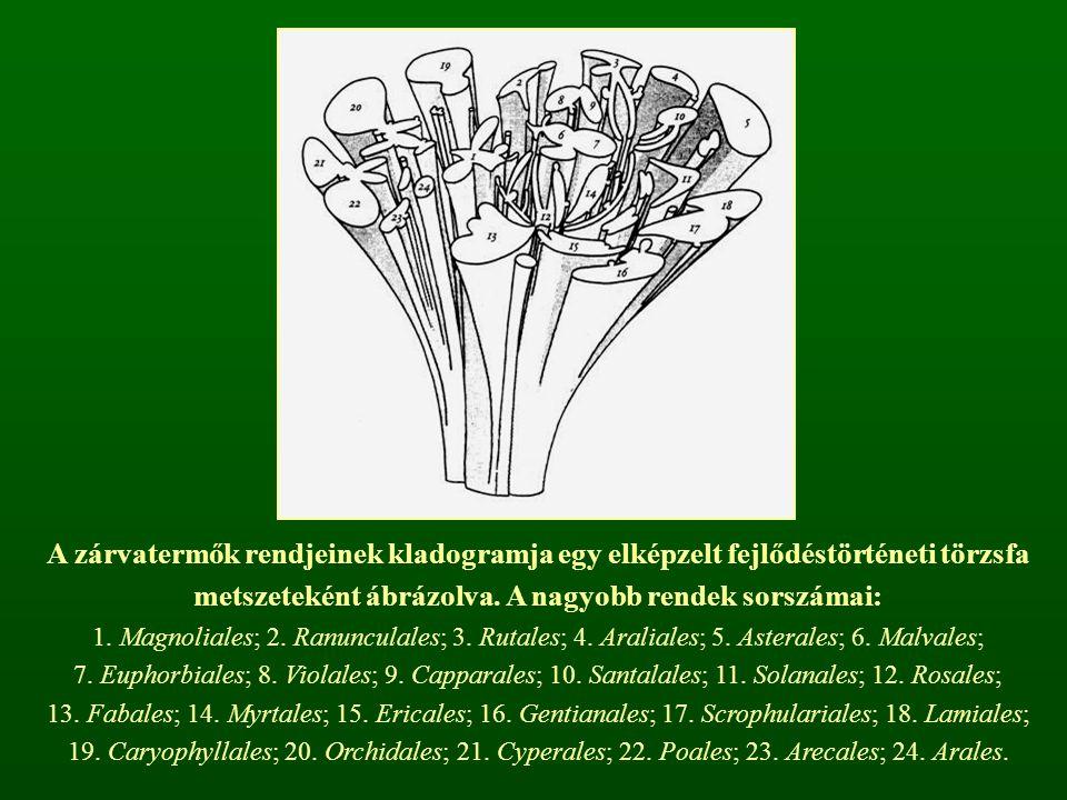 A zárvatermők rendjeinek kladogramja egy elképzelt fejlődéstörténeti törzsfa metszeteként ábrázolva.