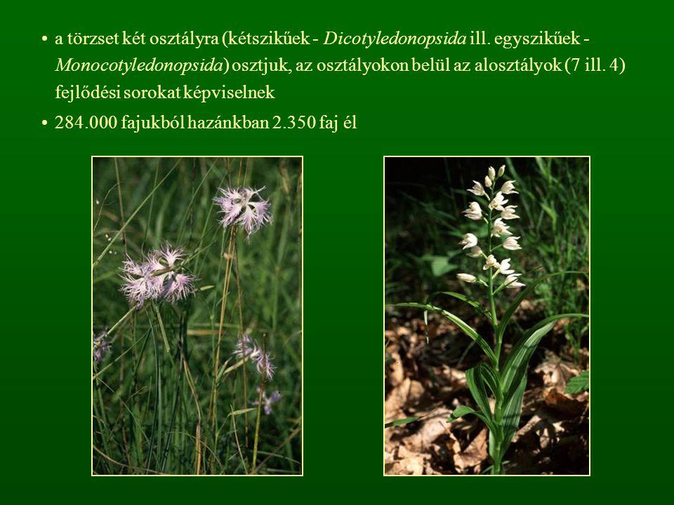 a törzset két osztályra (kétszikűek - Dicotyledonopsida ill.